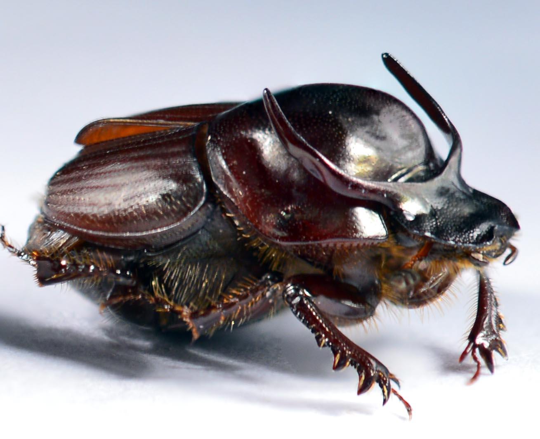 Калоед-бык: питание, образ жизни, места обитания