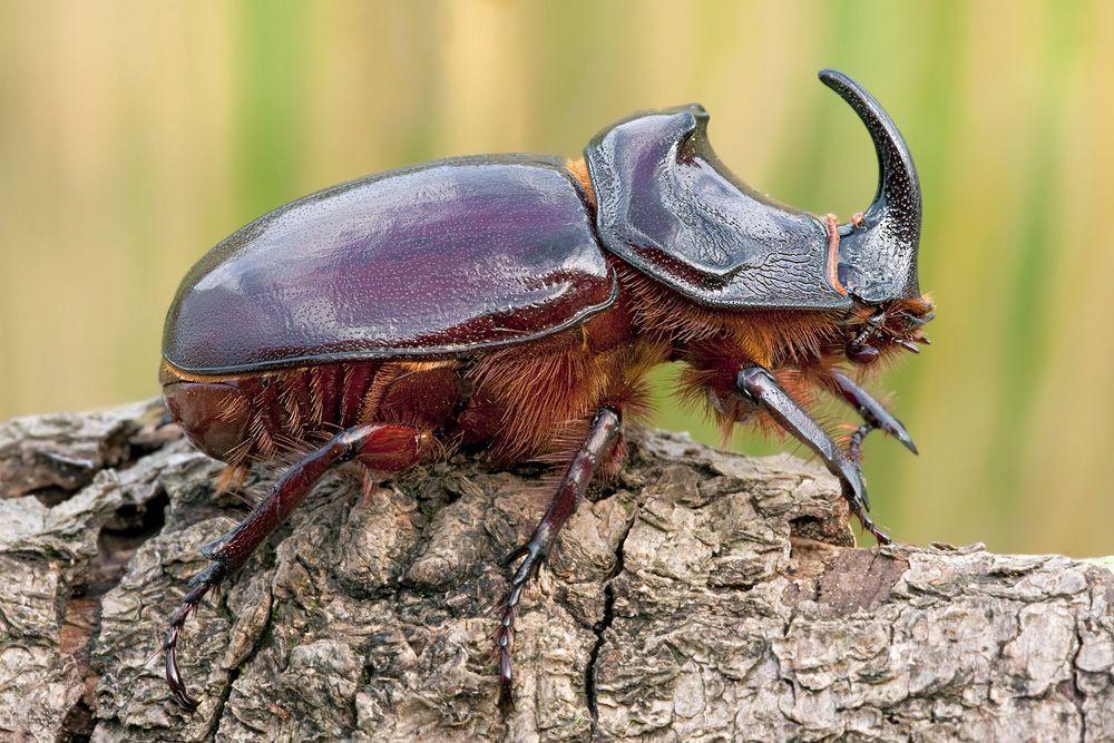 Жук-носорог: питание, образ жизни, места обитания