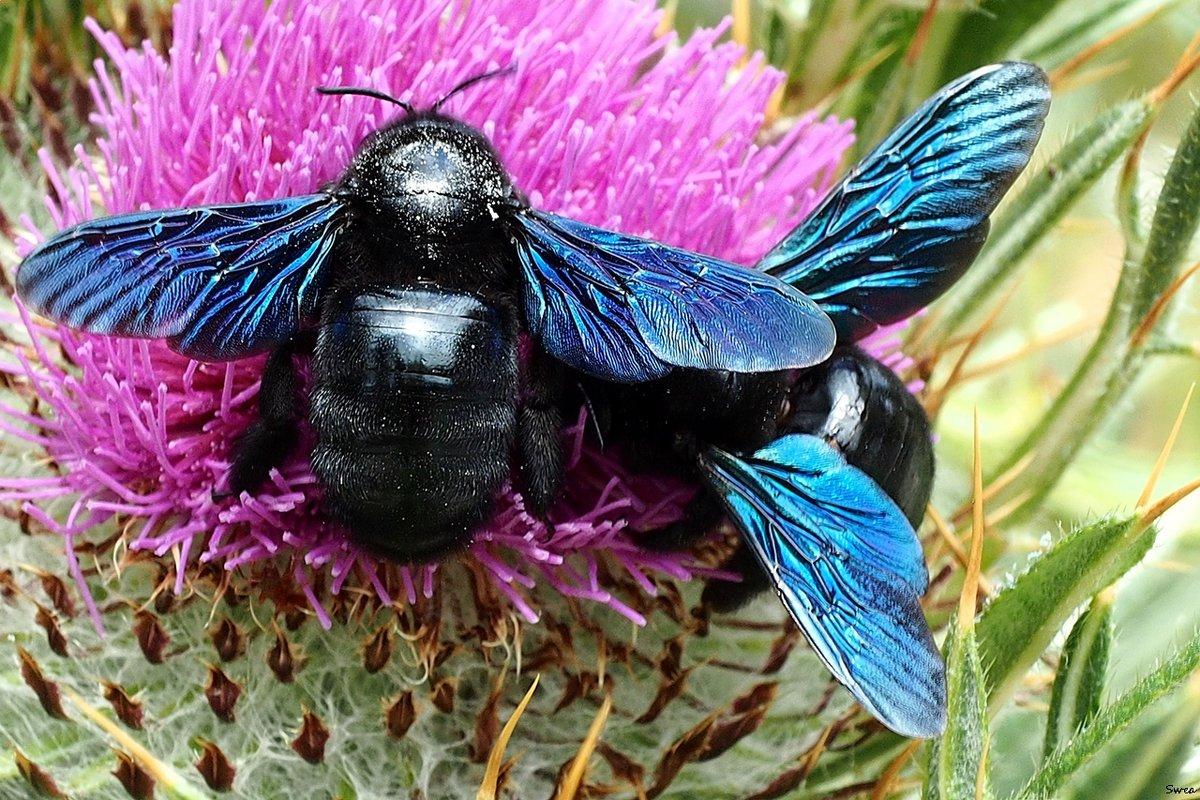 Пчела-плотник фиолетовая: питание, образ жизни, места обитания