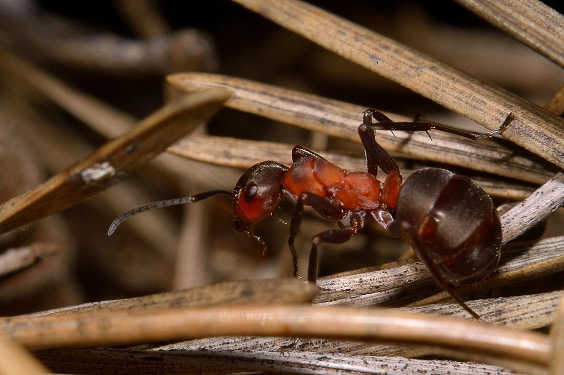 Рыжий лесной муравей: питание, образ жизни, места обитания