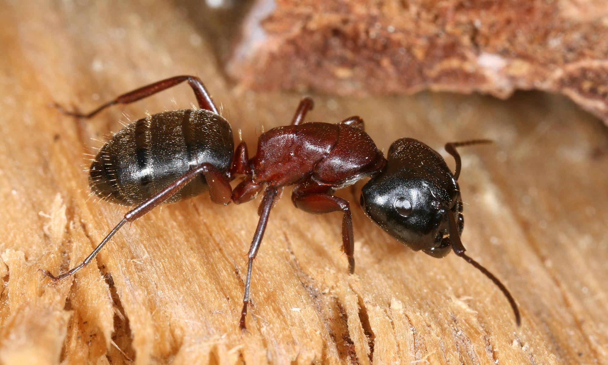 Красногрудый муравей-древоточец: питание, образ жизни, места обитания