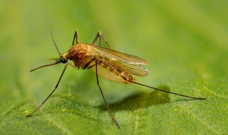 Комар обыкновенный: питание, образ жизни, места обитания