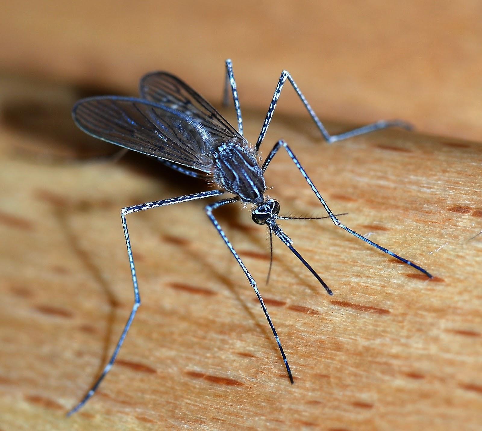 Комар кольчатый: питание, образ жизни, места обитания