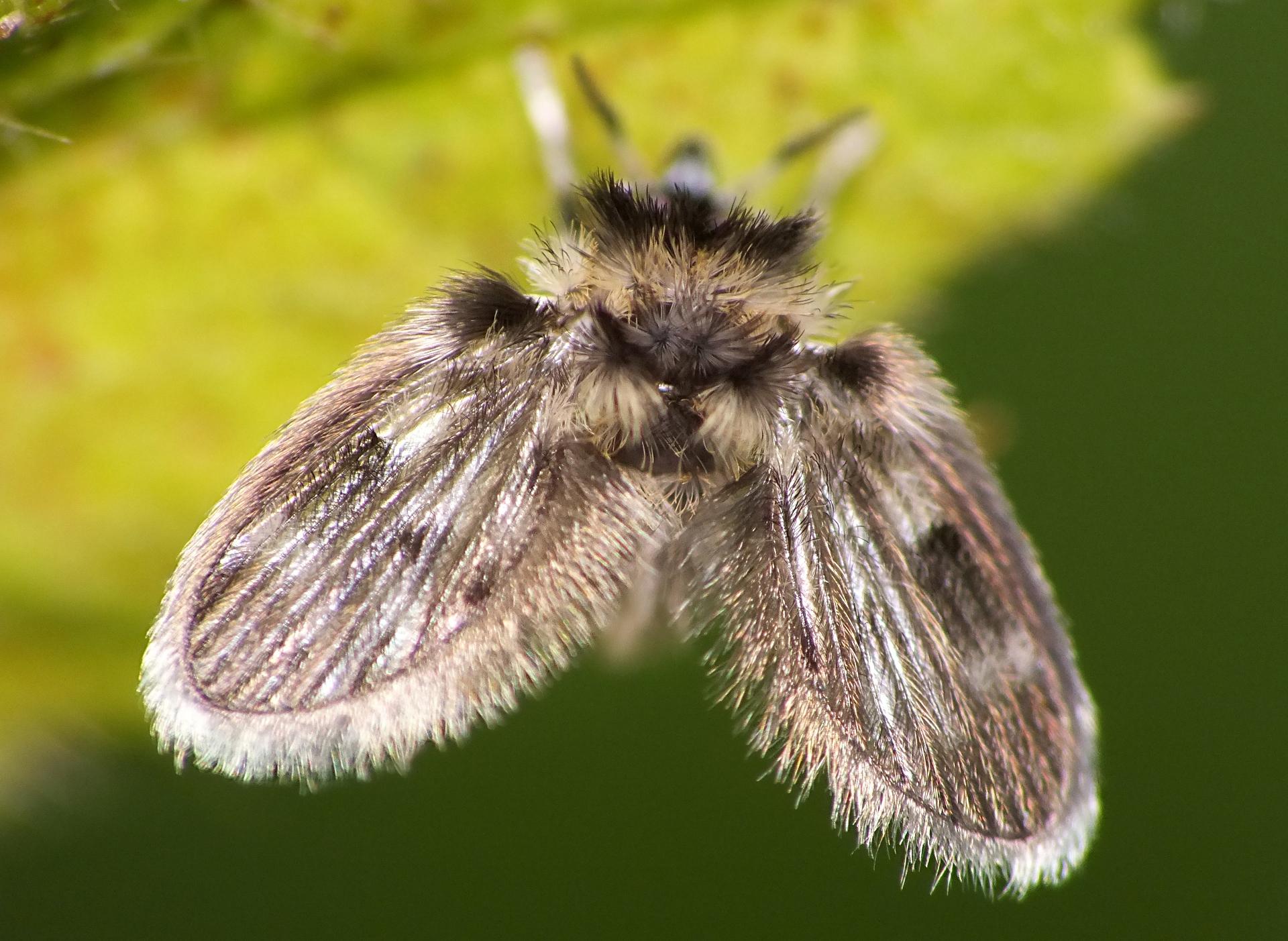 Бабочница обыкновенная: питание, образ жизни, места обитания