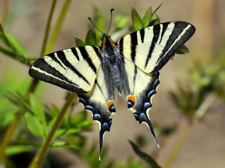 Бабочка Подалирий: питание, образ жизни, места обитания