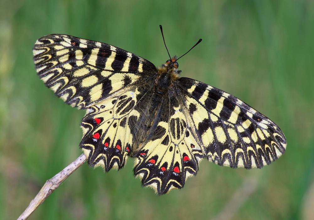 Бабочка Поликсена: питание, образ жизни, места обитания