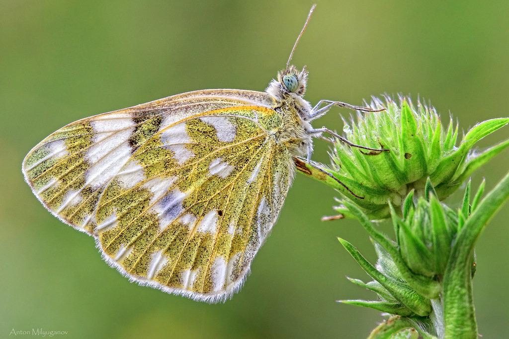 Бабочка Белянка рапсовая: питание, образ жизни, места обитания
