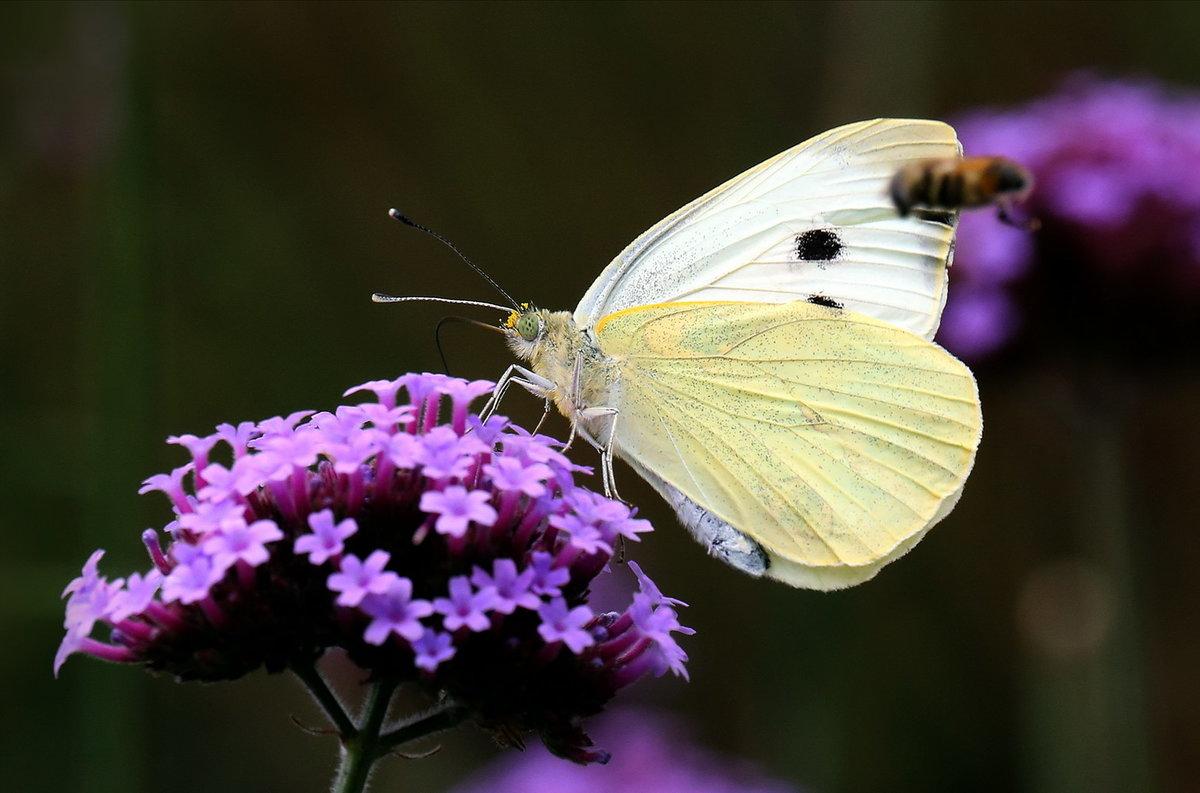 Бабочка Капустница: питание, образ жизни, места обитания