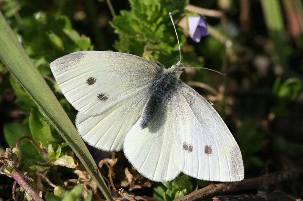 Бабочка Репница: питание, образ жизни, места обитания