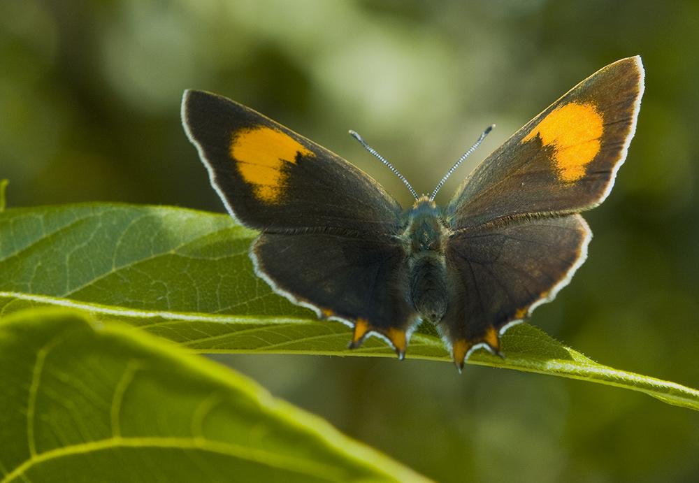 Бабочка Зефир берёзовый: питание, образ жизни, места обитания