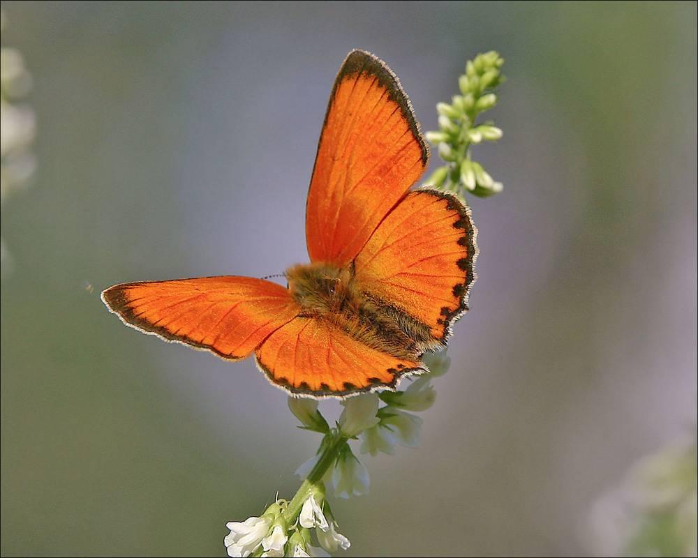 Бабочка Червонец огненный: питание, образ жизни, места обитания