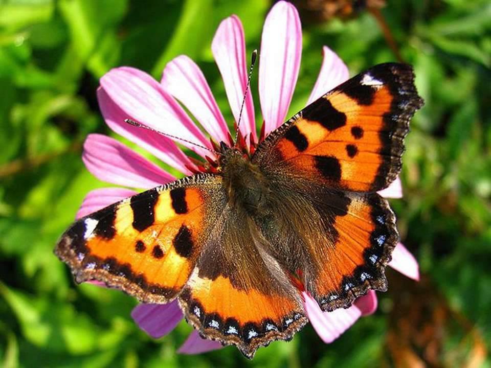 Бабочка Крапивница: питание, образ жизни, места обитания