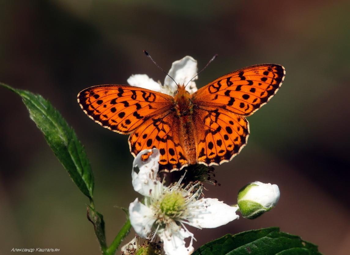 Бабочка Перламутровка Аглая: питание, образ жизни, места обитания
