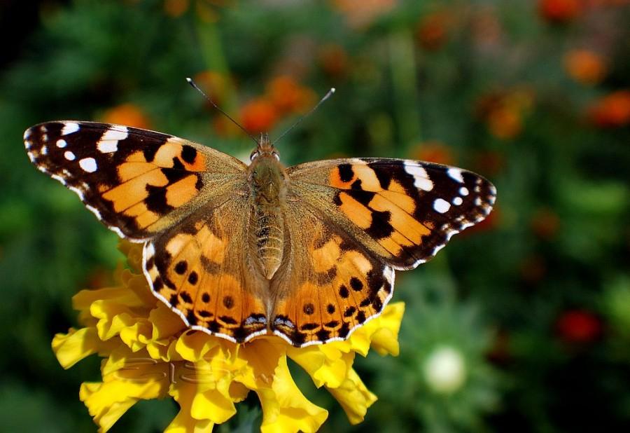 Бабочка Репейница: питание, образ жизни, места обитания