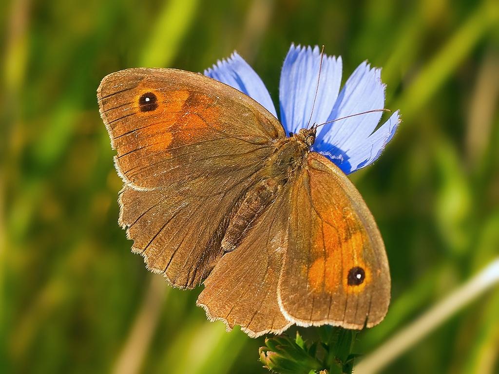Бабочка Воловий глаз: питание, образ жизни, места обитания