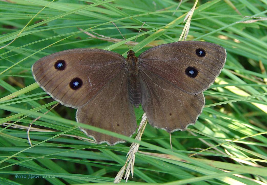 Бабочка Бархатница дриада