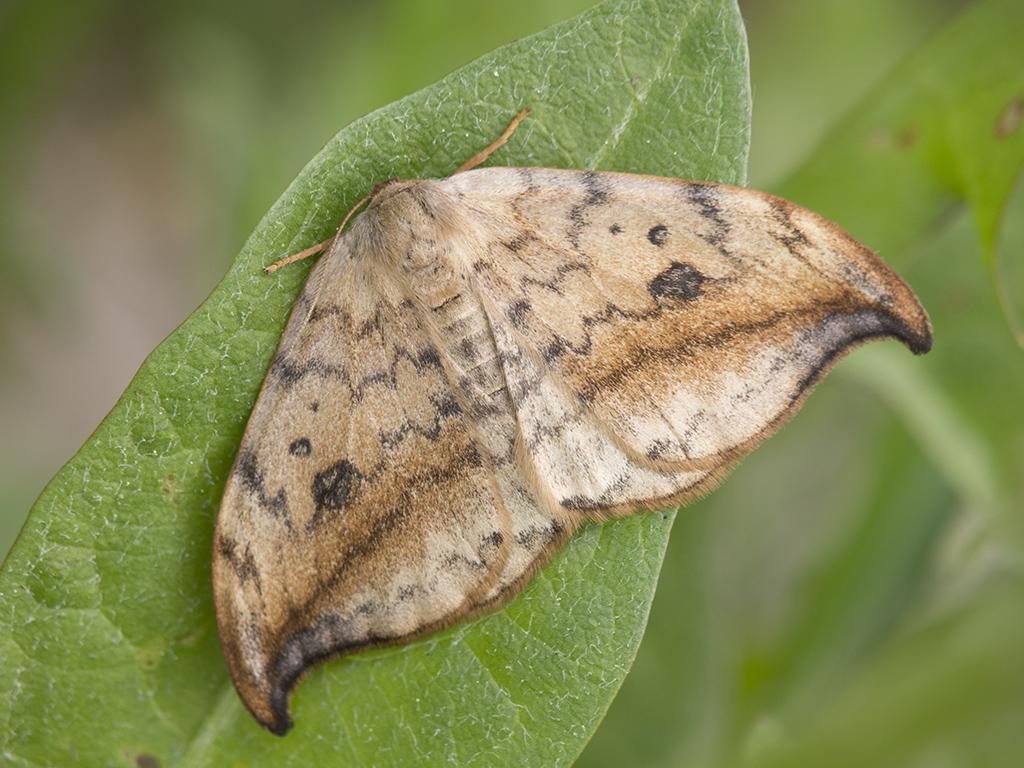 Бабочка Серпокрылка березовая: питание, образ жизни, места обитания