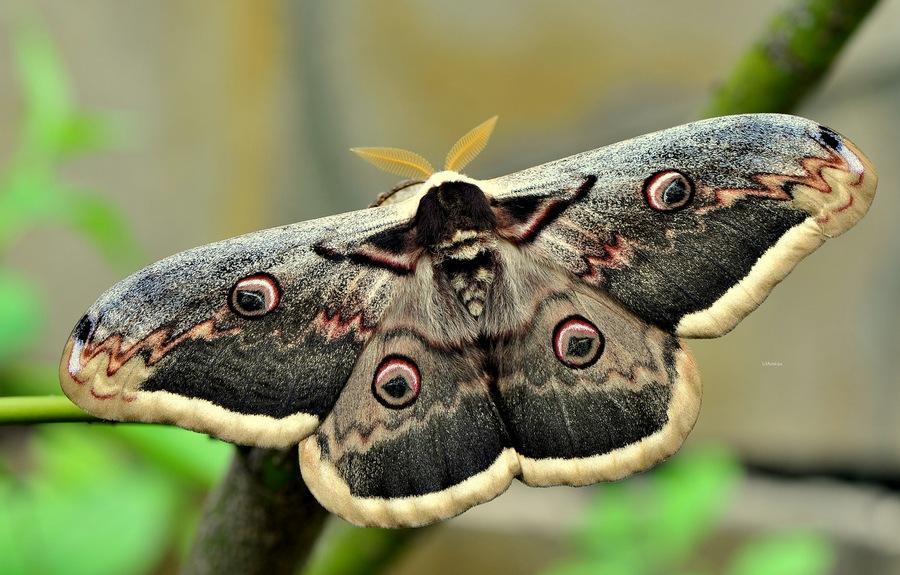Бабочка Павлиноглазка грушевая