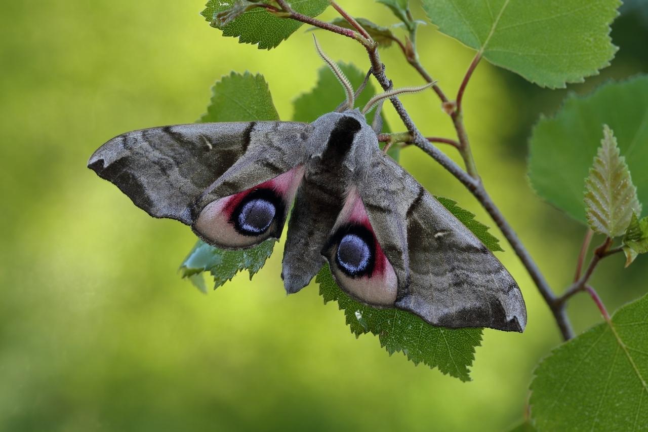 Бабочка Бражник глазчатый: развитие из гусеницы