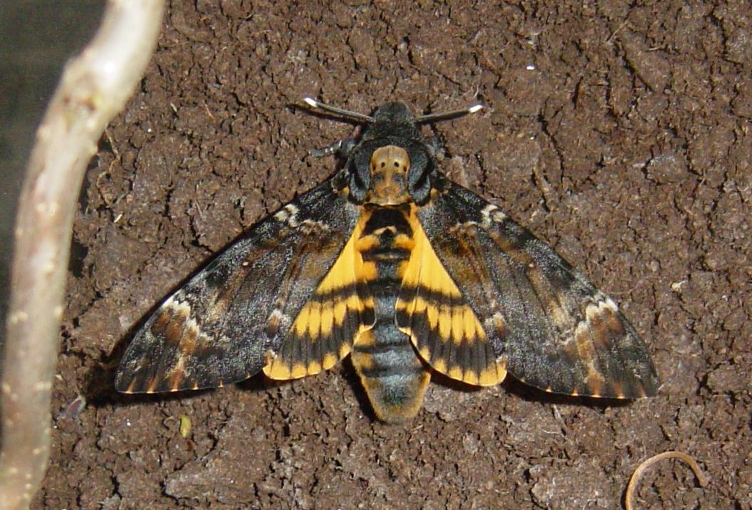 Бражник мертвая голова: фото бабочки и гусеницы, рисунок, описание