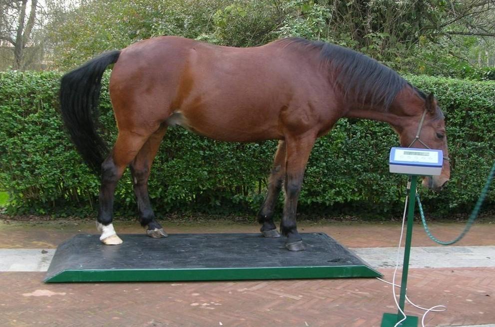 Основные промеры лошади: вес, рост, высота в холке, обхват груди и пясти