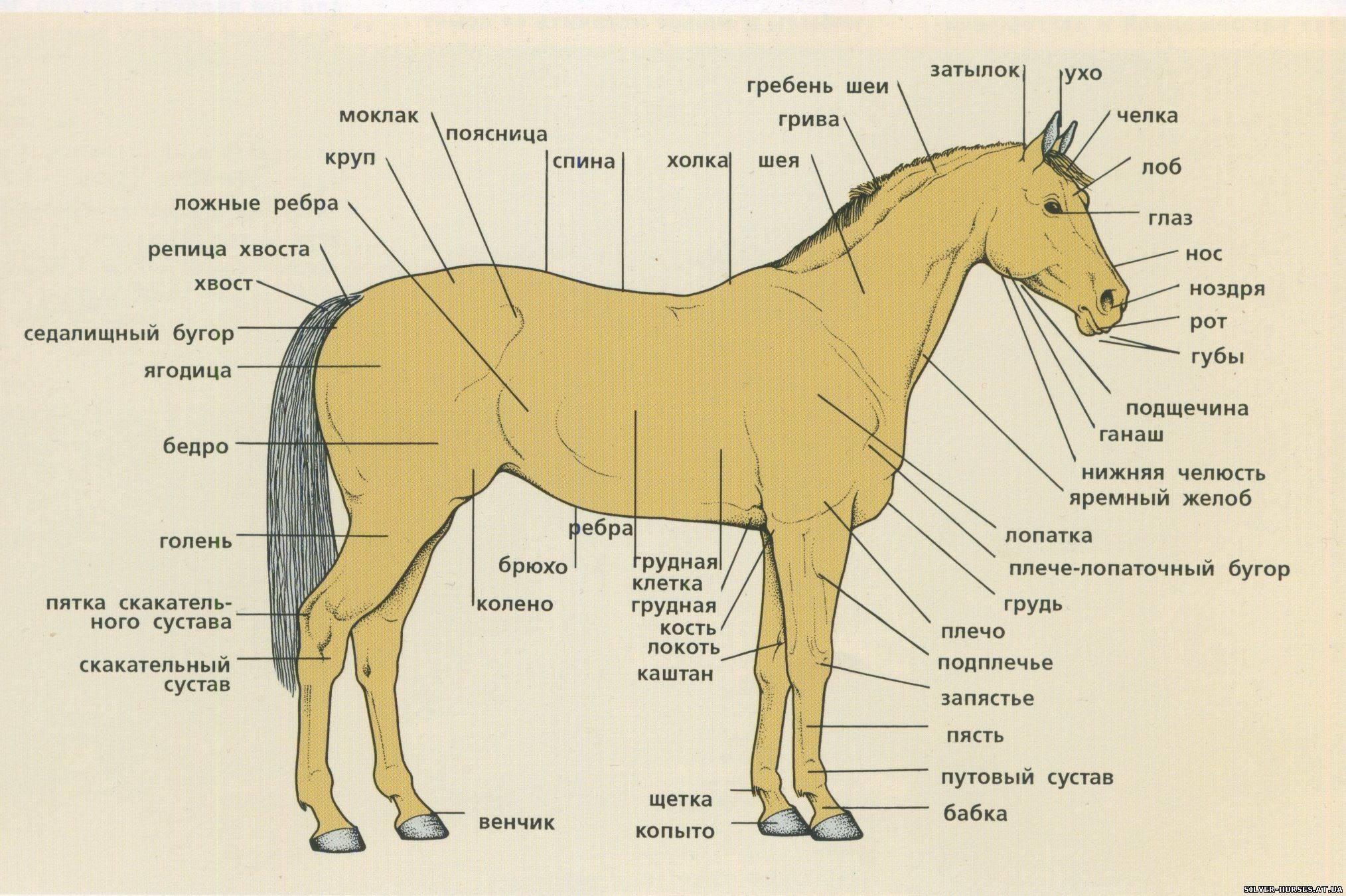 Стати лошади. Бонитировка по внешнему виду или экстерьеру лошади