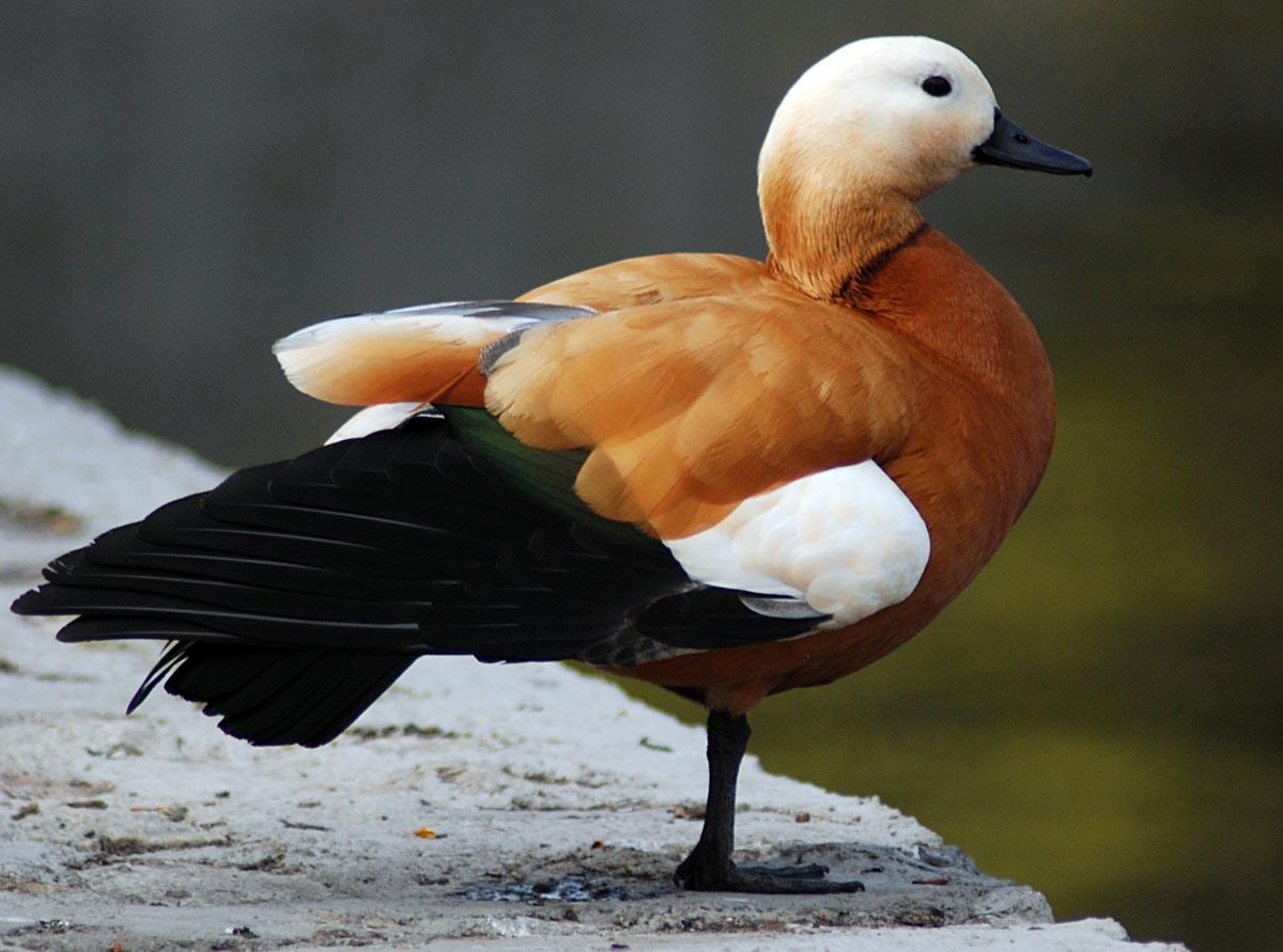 Огарь, или утка красная: фото и описание птицы. Обитание и питание