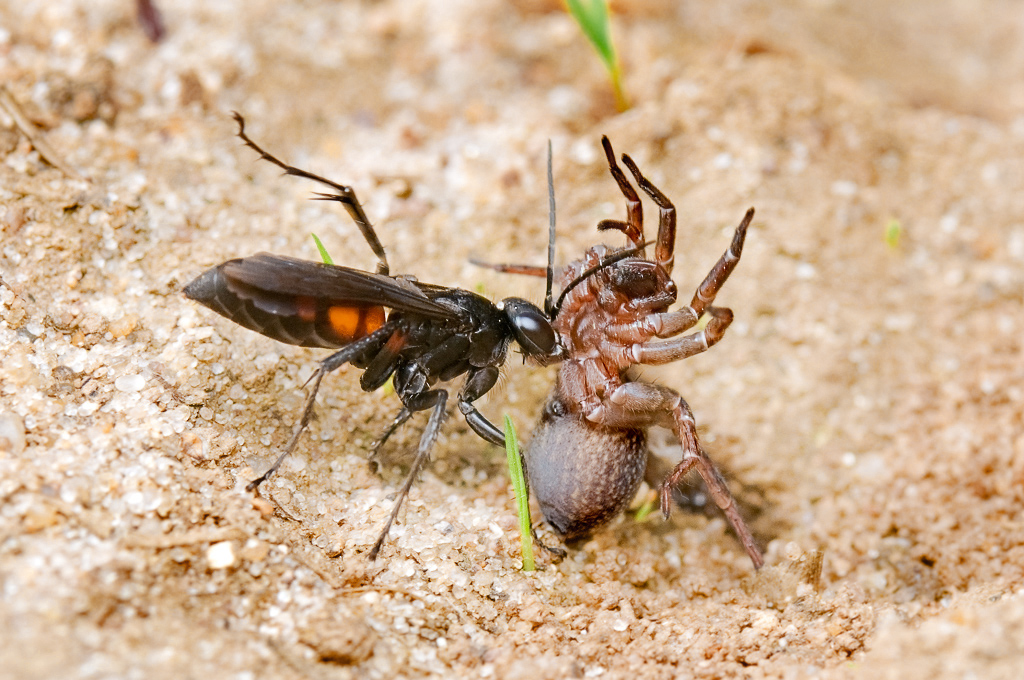 Паук против осы. Битва тарантула с кольчатым помпилом, или каликургом