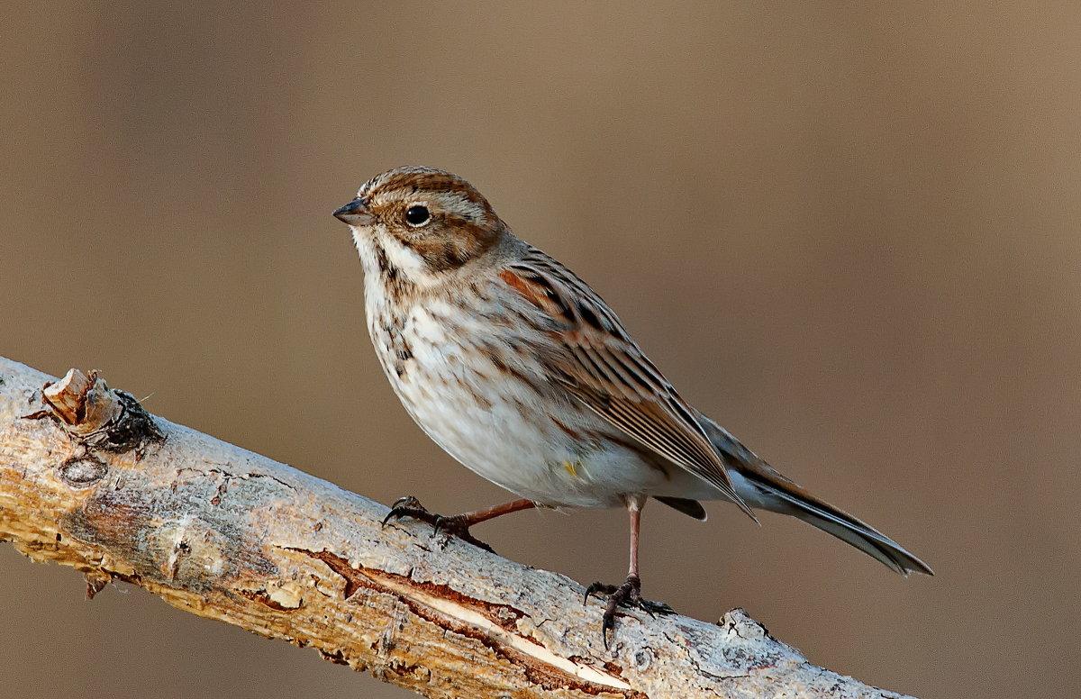 Овсянка камышовая: фото и описание птицы. Обитание и питание