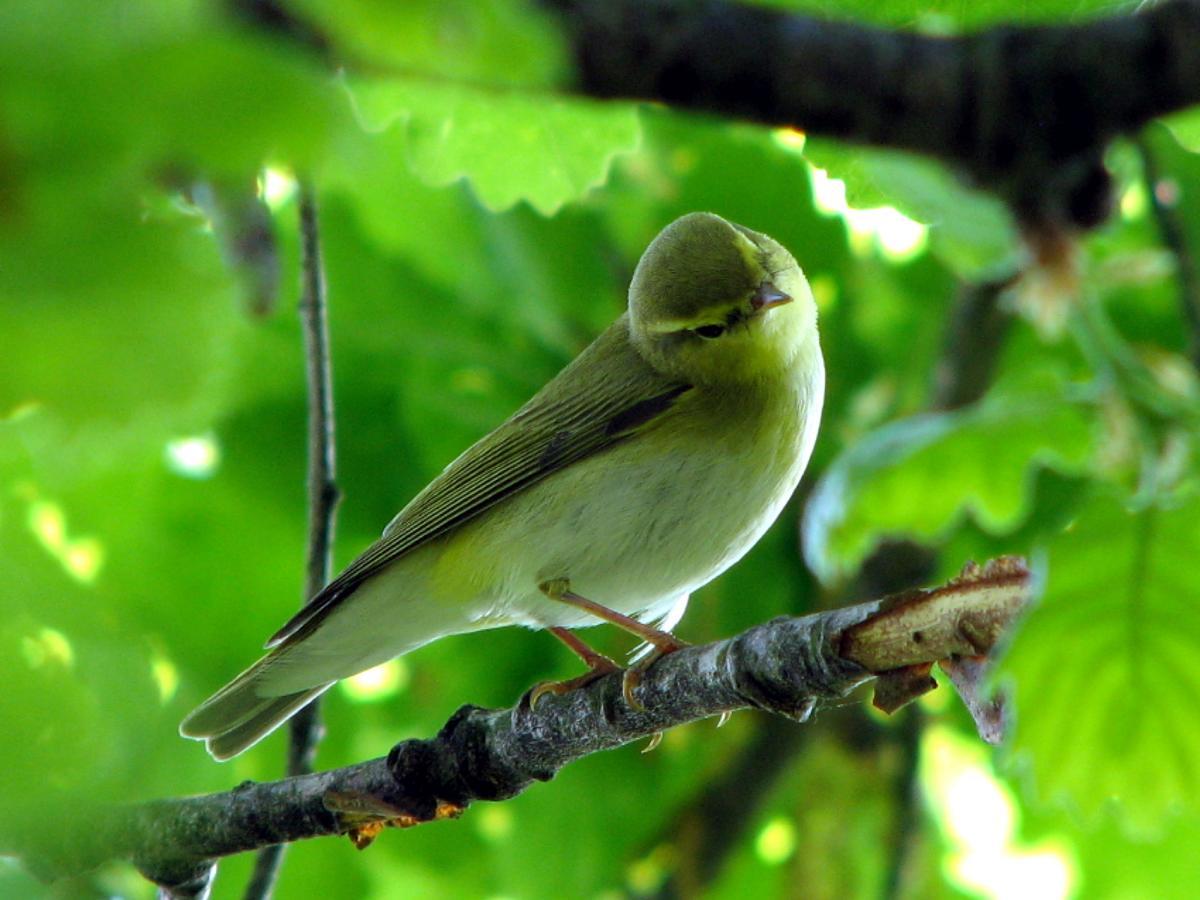 Пеночка-трещотка в зарослях листвы