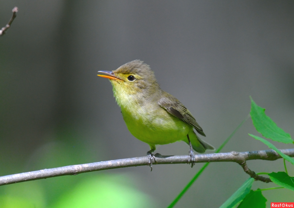 Пересмешка зеленая: фото и описание птицы. Обитание и питание