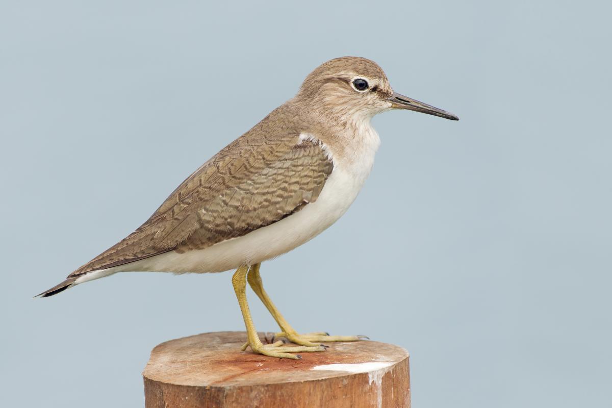 Перевозчик (Actitis hypoleucos): описание и фото птицы