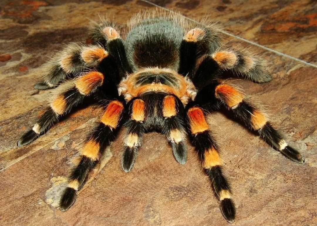 Паук-птицеед - самый большой паук в мире: описание, виды и опасность укуса
