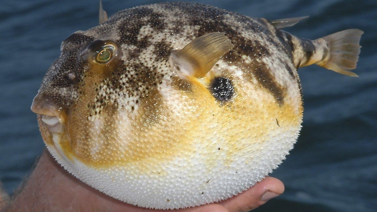 Тетродотоксин в рыбе фугу