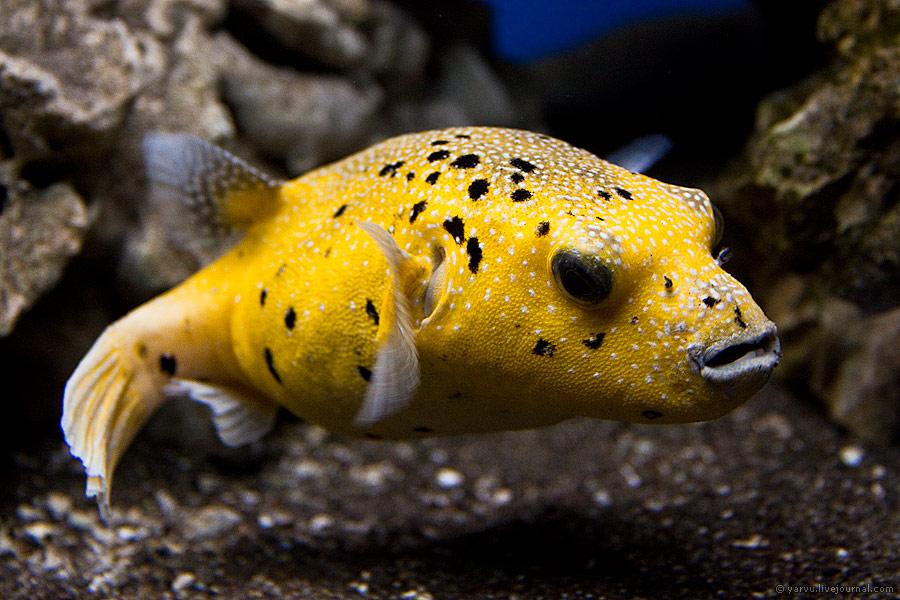 Рыбы-собаки и их ядовитые виды. Симптомы отравления рыбой фугу