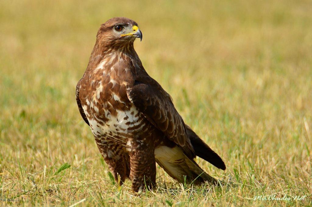 Канюк, или сарыч (Buteo buteo): местообитание, питание, размножение и питание птицы