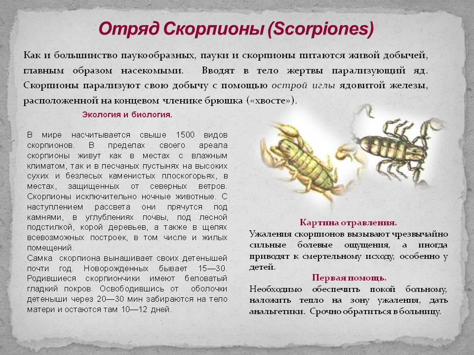 Скорпионы - отряд животных из класса паукообразных. Семейства и виды скорпионов