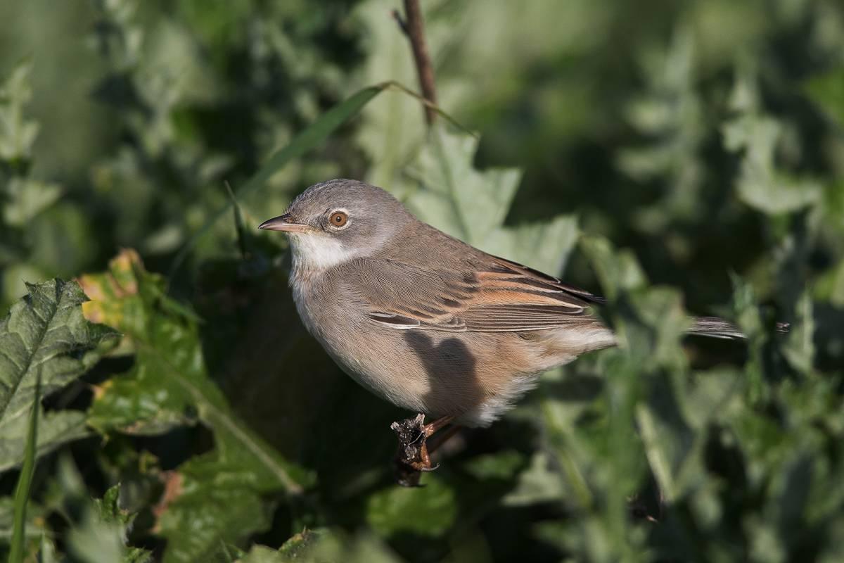 Славка серая: фото и описание птицы. Обитание и питание