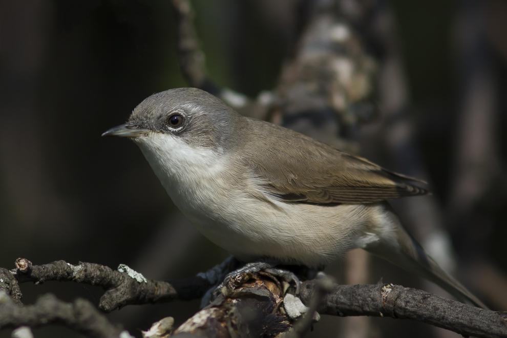 Славка-завирушка, или славка-мельничек: фото и описание птицы