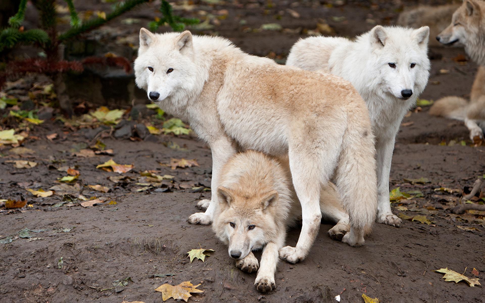 Семейство собачьих: волки и песцы. Стаи и группы хищных животных
