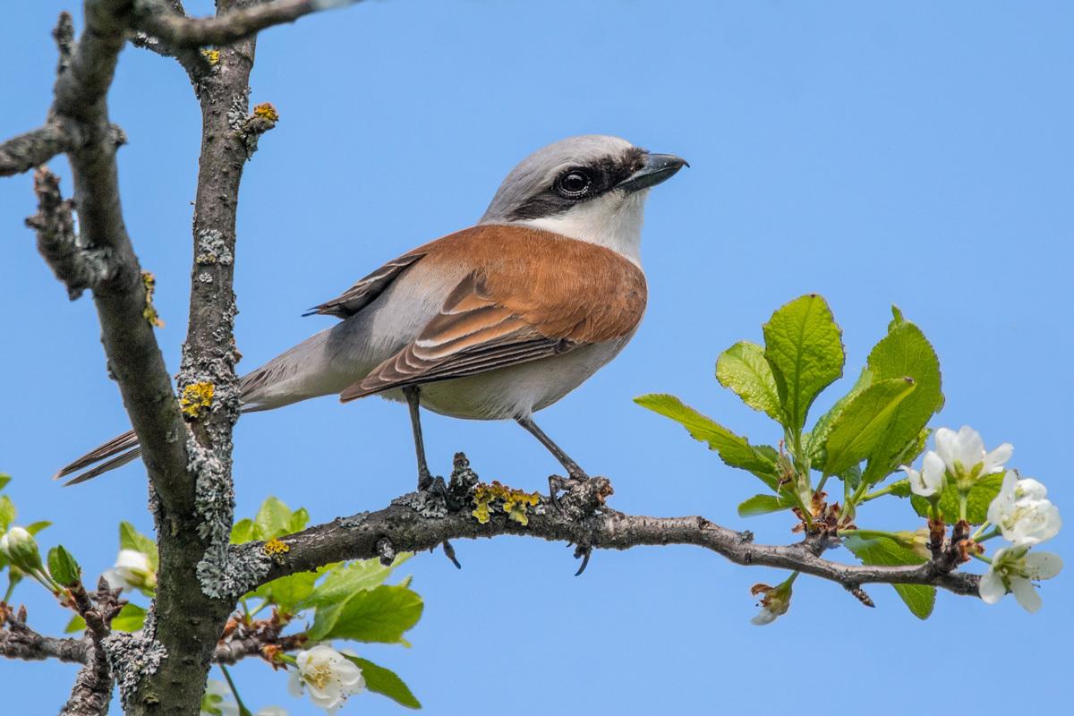 Сорокопут-жулан: фото и описание птицы. Обитание, питание, размножение