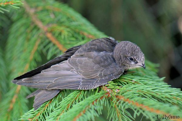 Местообитание стрижа черного (Apus apus), питание и размножение