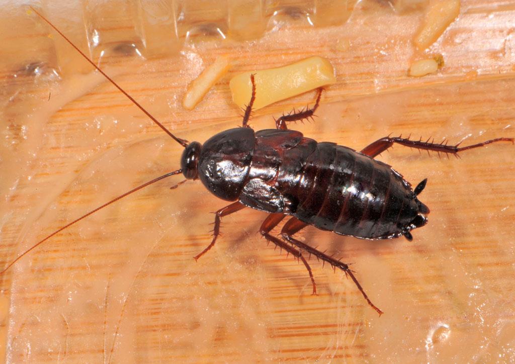 Черный таракан: питание, образ жизни, места обитания