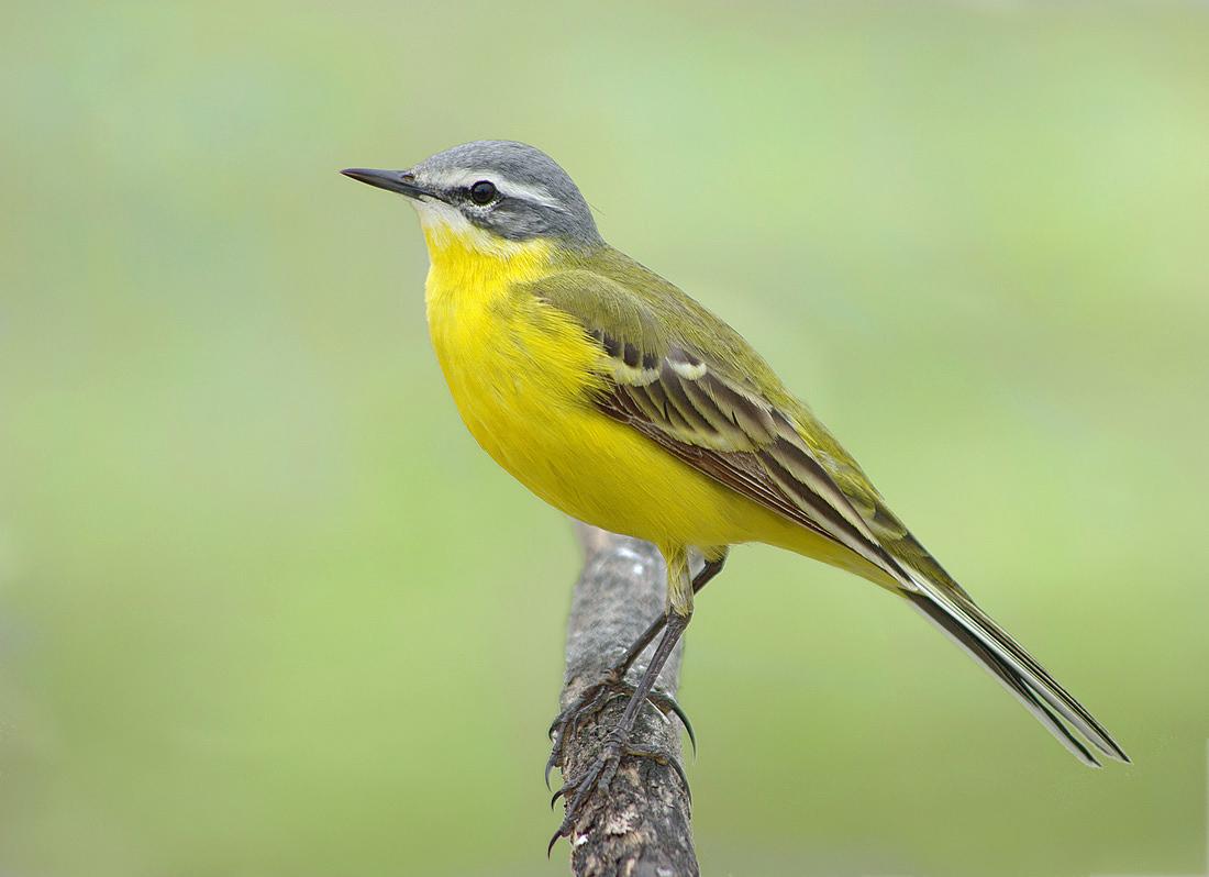Трясогузка желтая: фото и описание птицы. Обитание, питание, размножение