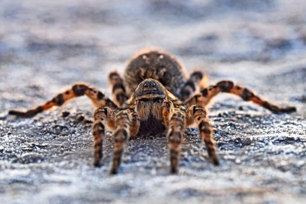 Южнорусский тарантул: питание, образ жизни, места обитания