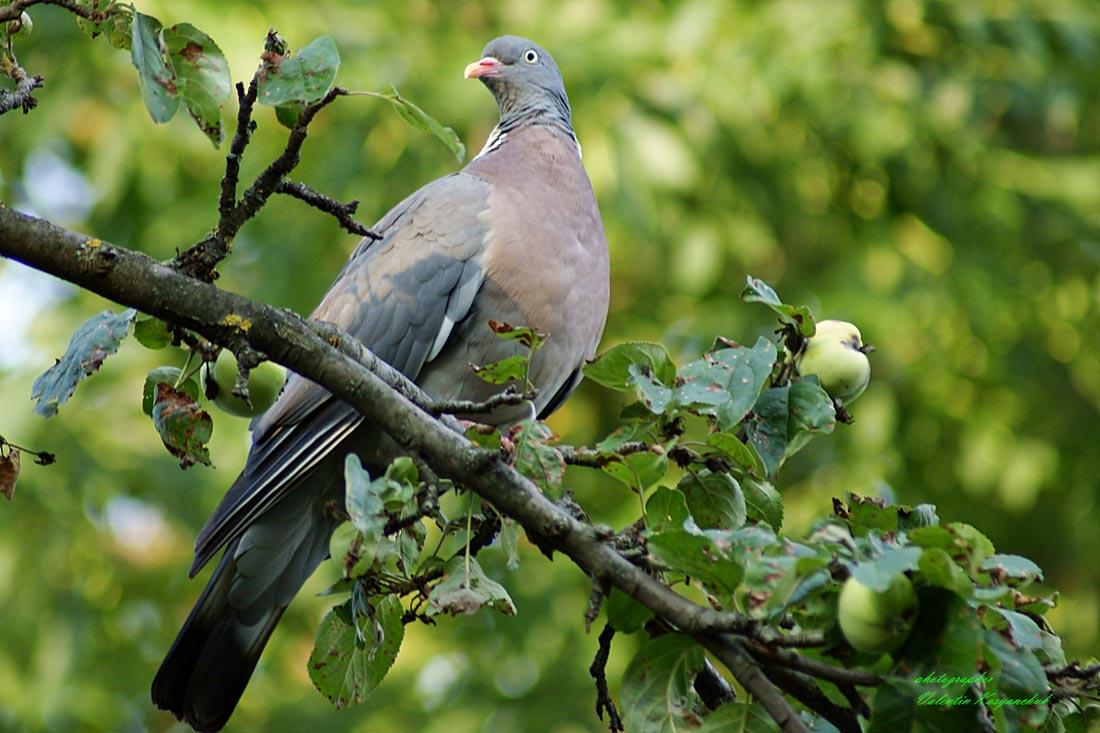 Вяхирь (Columba palumbus) на ветке яблони