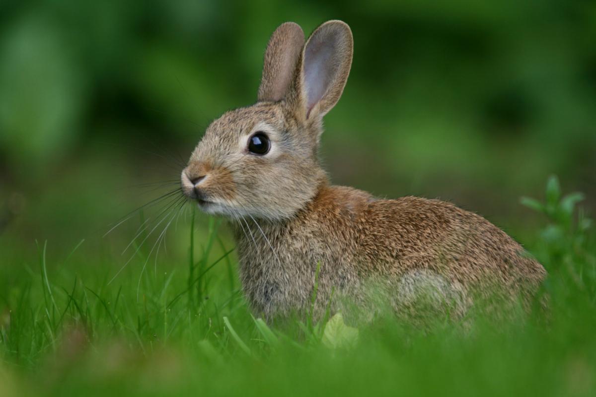 Заяц, прячущийся от хищников, в траве