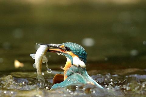 Зимородок (Alcedo atthis): местообитание птицы, питание и миграции