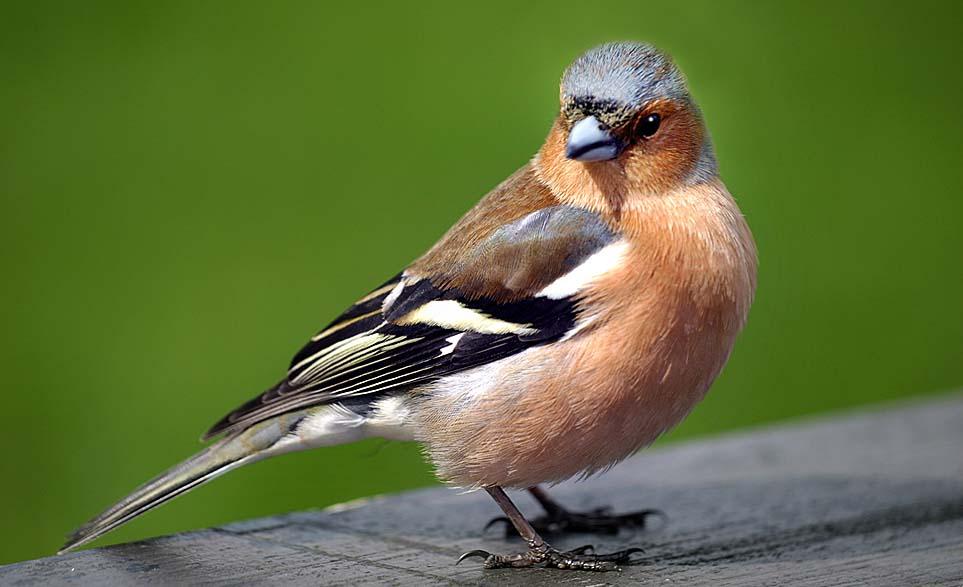 Самец зяблика с сизо-голубым оперением, самка птицы сероватая