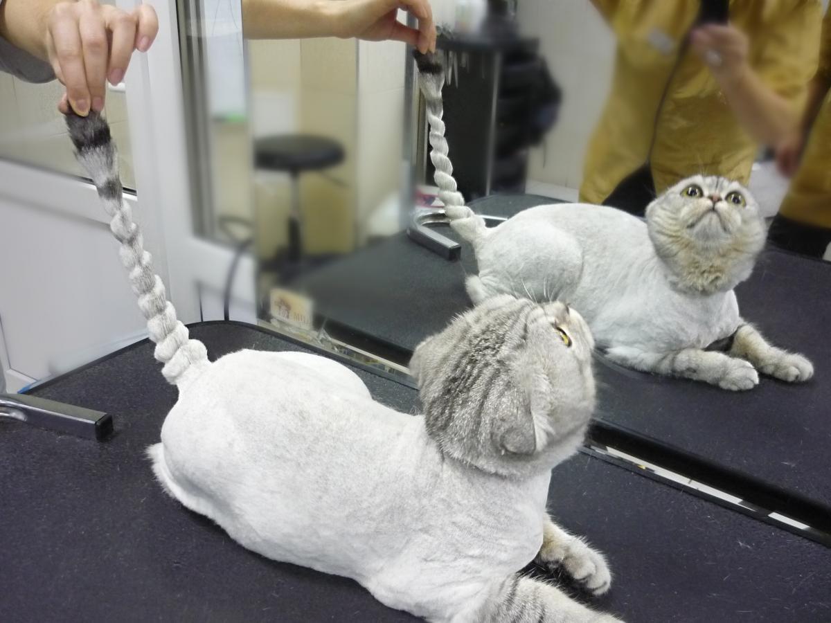 Груминг кошки: стрижка шерсти, когтей и чистка ушей животного